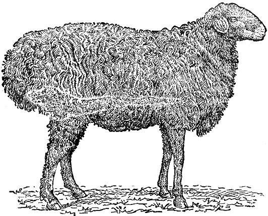 Эдельбаевские овцы