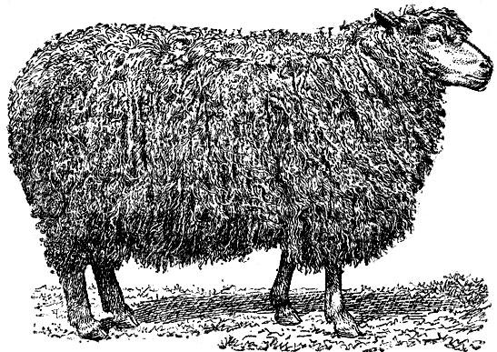 инструкция по бонитировке курдючных овец - фото 9