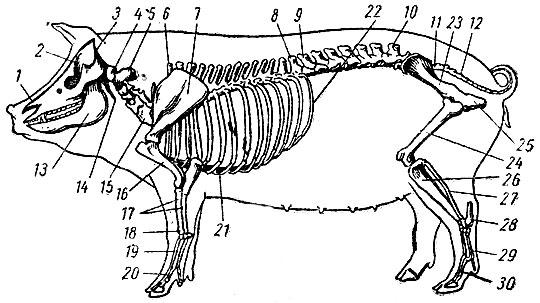 Скелет свиньи: 1- носовая