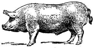 Чем плохо для свиней племенных сближенность в скакательных суставах уплотнения суставов пальцев