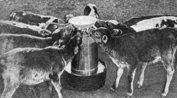 Выпойка телят молоком при