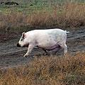 Взрослая свинка