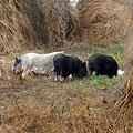Вьетнамские свиньи у сена