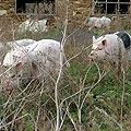 Свиньи свободно гуляют