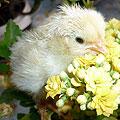 Цыплята новорожденные. 3 часа от рождения