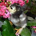 Цыплята новорожденные. 4 часа от рождения