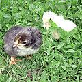 Цыплята новорожденные. Цыплята на траве