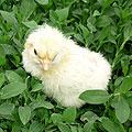 Цыплята новорожденные. Цыплёнок на траве