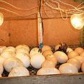 Цыплята новорожденные. Инкубатор с яйцами
