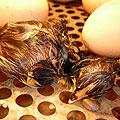 Цыплята новорожденные. Вылупившийся цыплёнок
